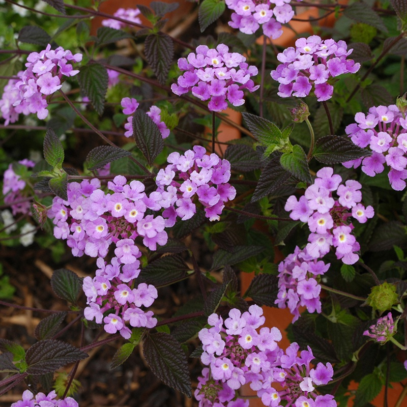 Lantana Purple Trailing Plants From Mr Fothergills Seeds And Plants