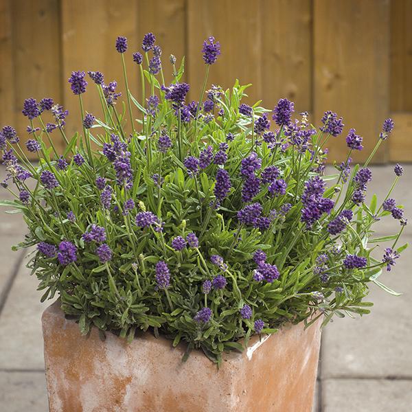 Lavender Mini Blue ...