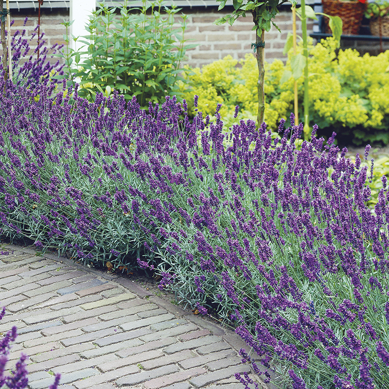 Lavender Hidcote Plants From Mr Fothergills Seeds And Plants