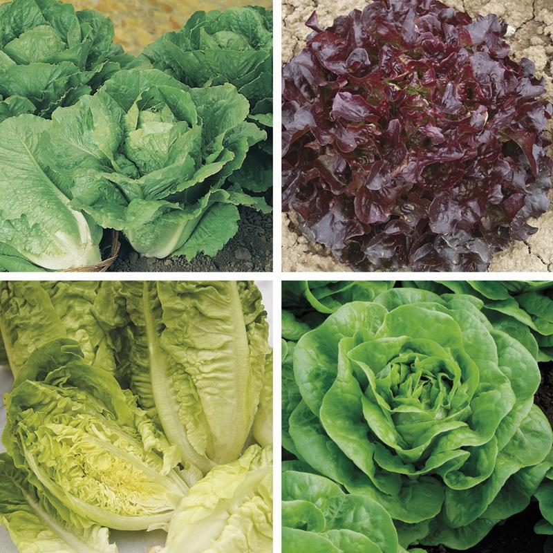 Fothergills Winter Gem Lettuce Seeds Mr