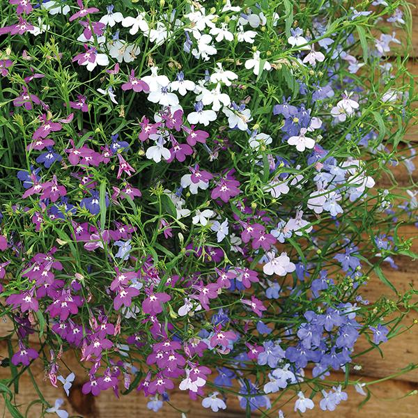 Lobelia Wonderfall Mixed 40 Standard Plug Plants From Mr Fothergills