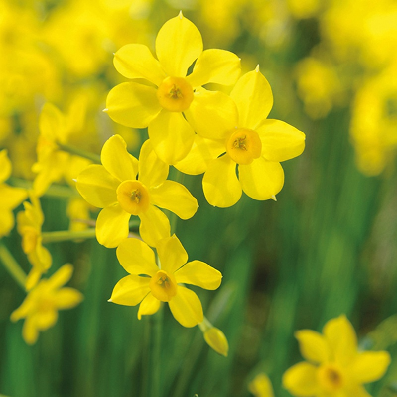 Narcissus Baby Boomer Jonquilla Bulbs From Mr Fothergill