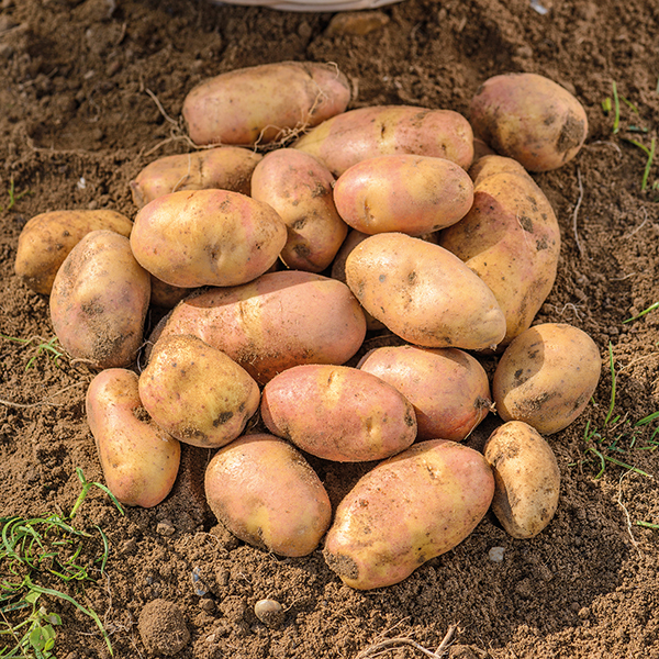 Potato Maincrop Inca Bella From Mr Fothergill 39 S Seeds And Plants