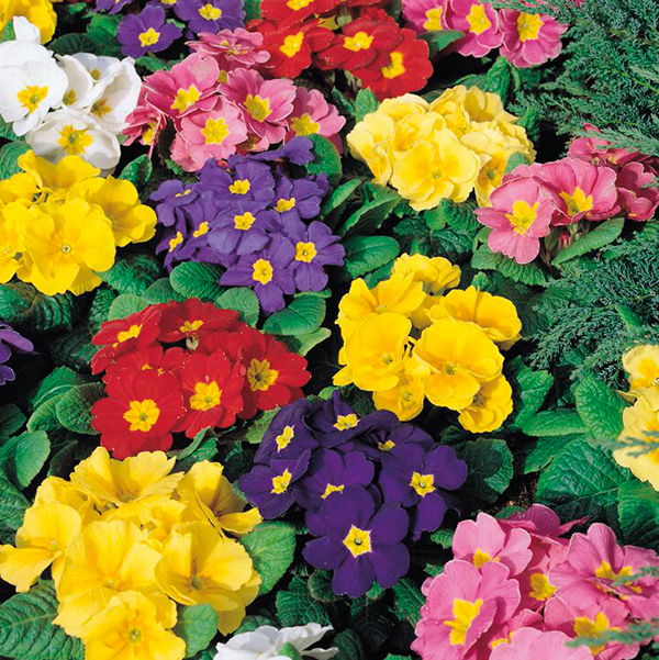 Uk S In Colorado: Primrose Husky Mixed F1 Plants From Mr Fothergill's Seeds