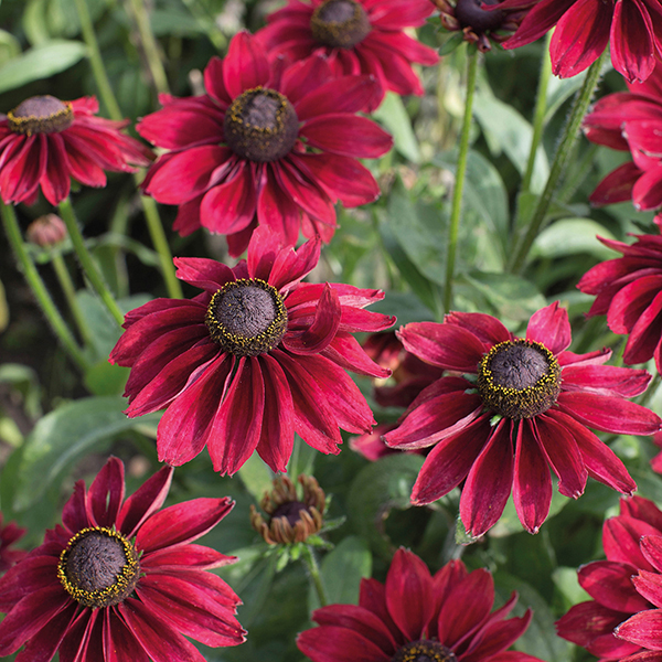 rudbeckia cherry brandy plants from mr fothergill 39 s seeds. Black Bedroom Furniture Sets. Home Design Ideas