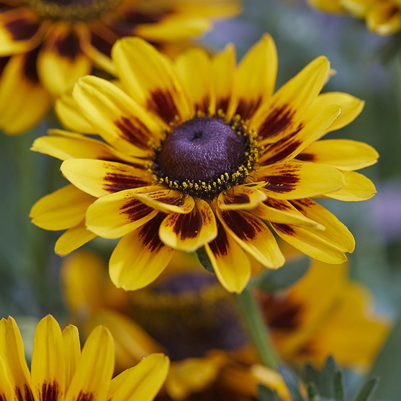 Rudbeckia Giggling Smiley Plants From Mr Fothergills Seeds