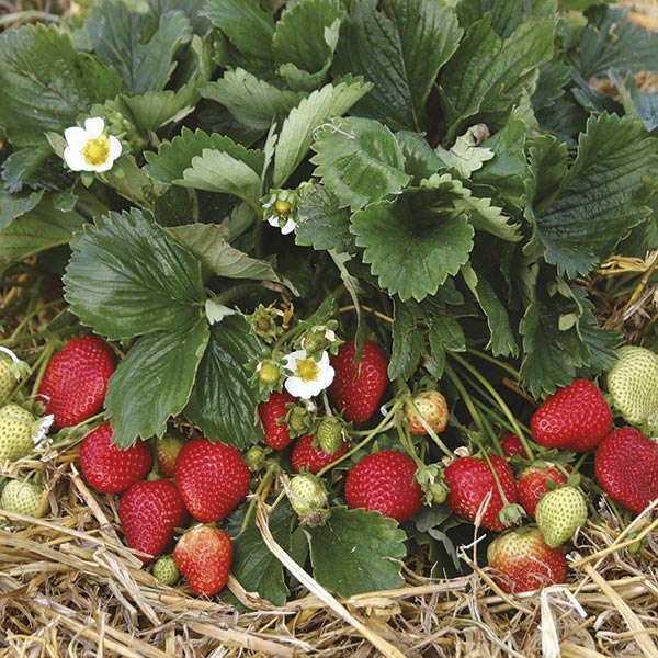 everbearer strawberry plants buddy from mr fothergill s seeds and plants
