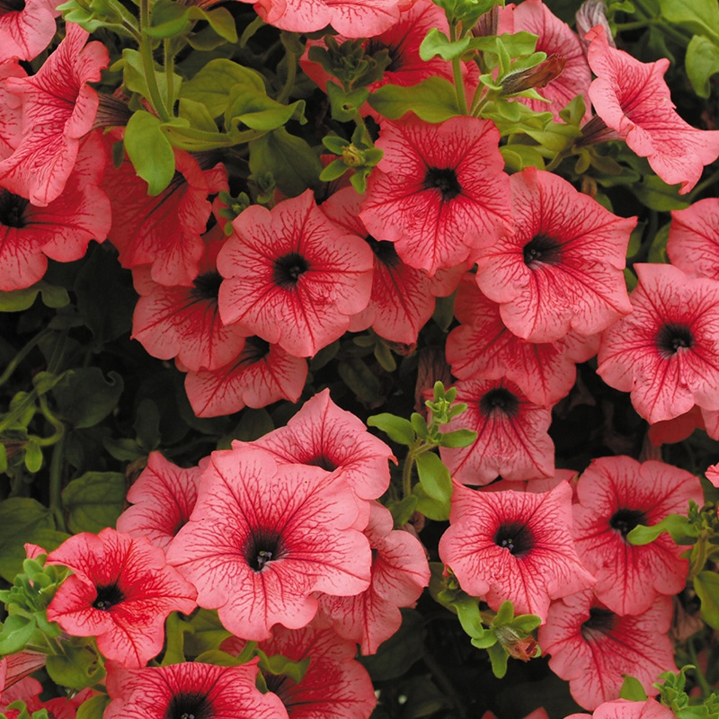 Petunia surfinia hot red plants from mr fothergills seeds for Petunia surfinia