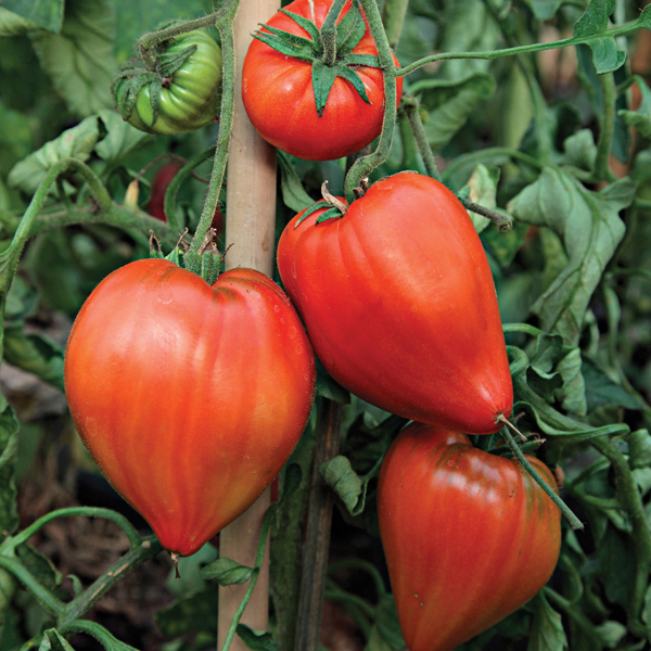 tomato coeur de boeuf grafted plants from mr fothergill 39 s seeds and plants. Black Bedroom Furniture Sets. Home Design Ideas