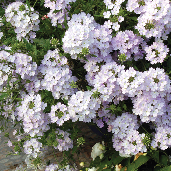 how to grow verbena plant