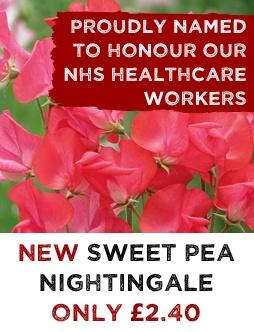 Sweet Pea Nightingale