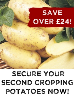Second Cropping Potatoes