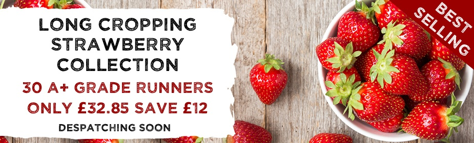 Strawberry Grade A Collection Season Long