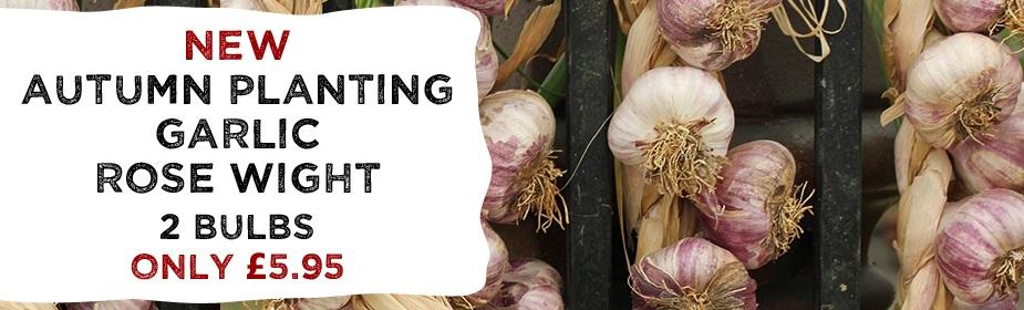 NEW Garlic Rose Wight