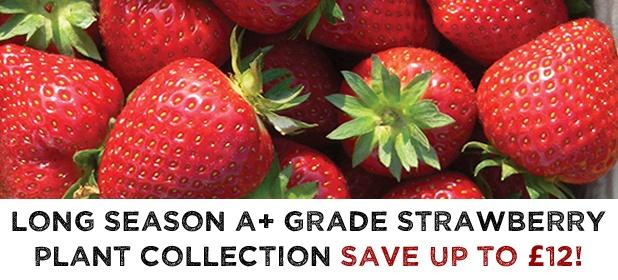 Long Season Strawberry Plant Collection