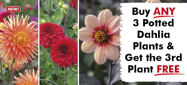 Buy Any 3 Potted Dahlia Plants & get the 3rd FREE!