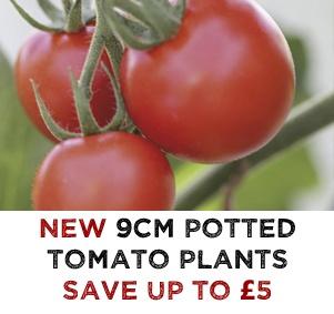 NEW Tomato Plants