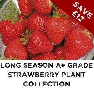 Long Season Strawberry Grade A Collection
