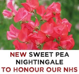 NEW Sweet Pea Nightingale