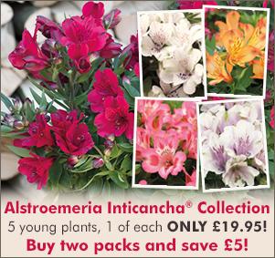 Alstroemeria Inticancah Collection