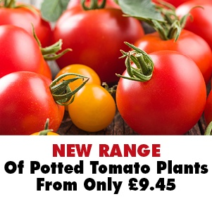 NEW 9cm Potted Tomato Plants