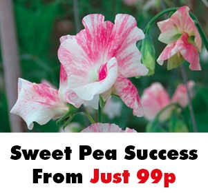 Sweet Pea Seeds From Just 99p