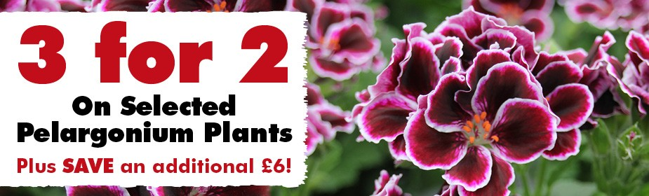 3 for 2 on selected Pelargonium Plants