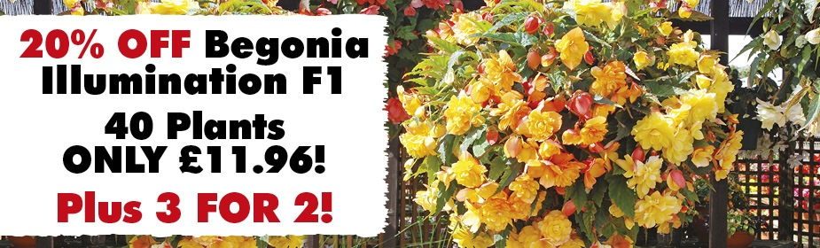 20% OFF and 3 for 2 on Begonia Illumination
