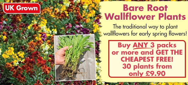 Bare Root Wallflower Plants - Buy ANY 3 packs or more and GET THE CHEAPEST PACK FREE!