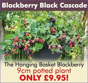 Blackberry Black Cascade