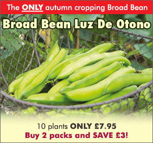 Broad Bean Luz De Otono Plants