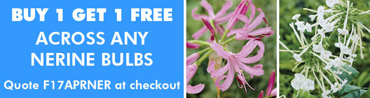Buy one get one free Nerines