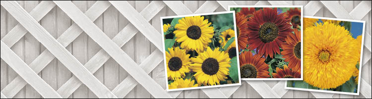 Sunflower Seeds - From Dwarf to Giant Tall Varieties
