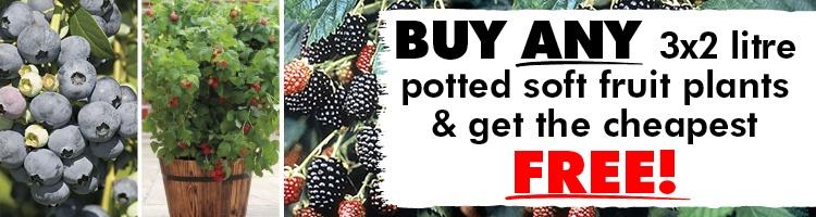 Blackberry Plants