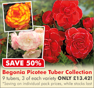 Save 50% Begonia Picotee Collection